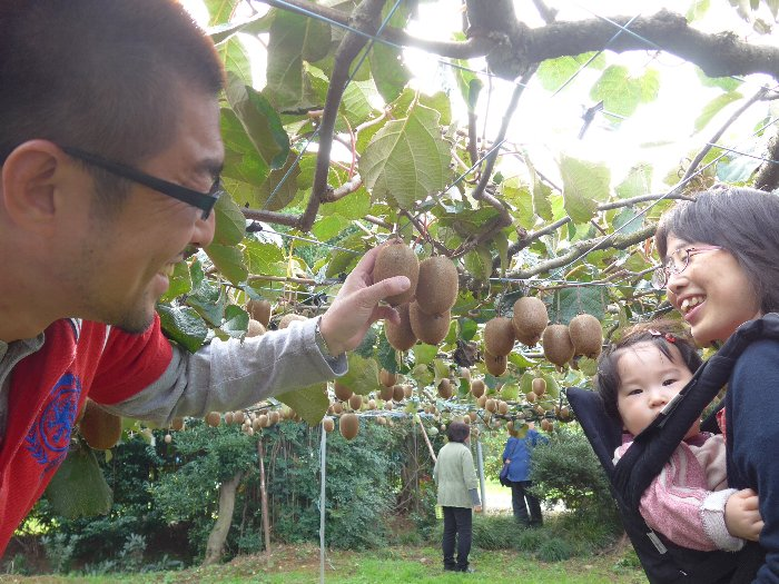 キウイ収穫体験