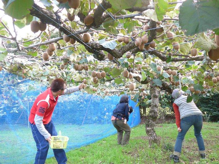 キウイ収穫体験3