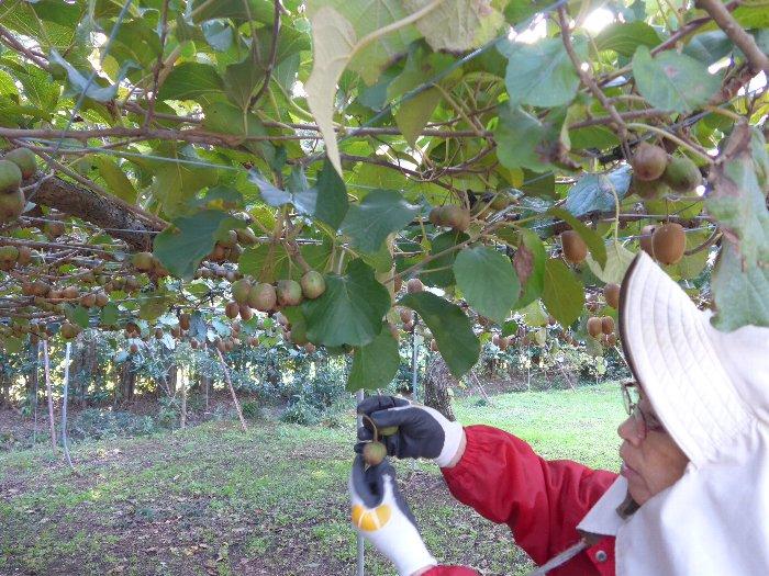 サルナシ収穫