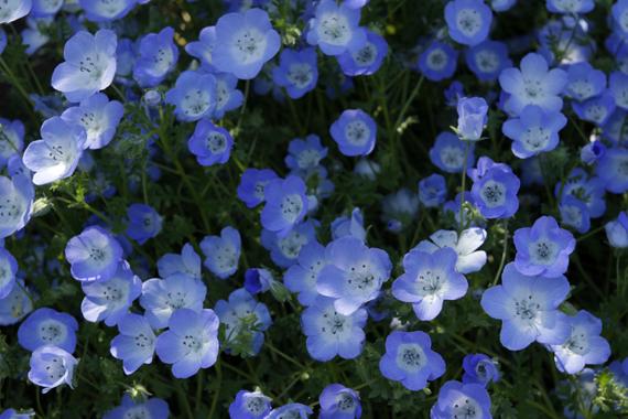 青い花たち2
