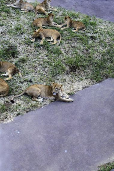 午後のライオン2