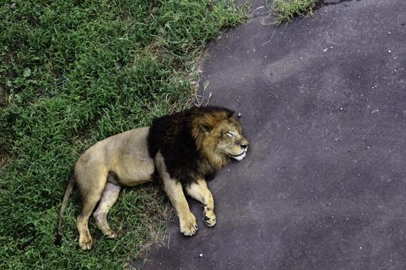 午後のライオン