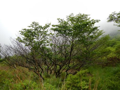 939マンサクの木