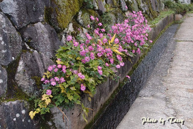 石垣のシュウメイギク