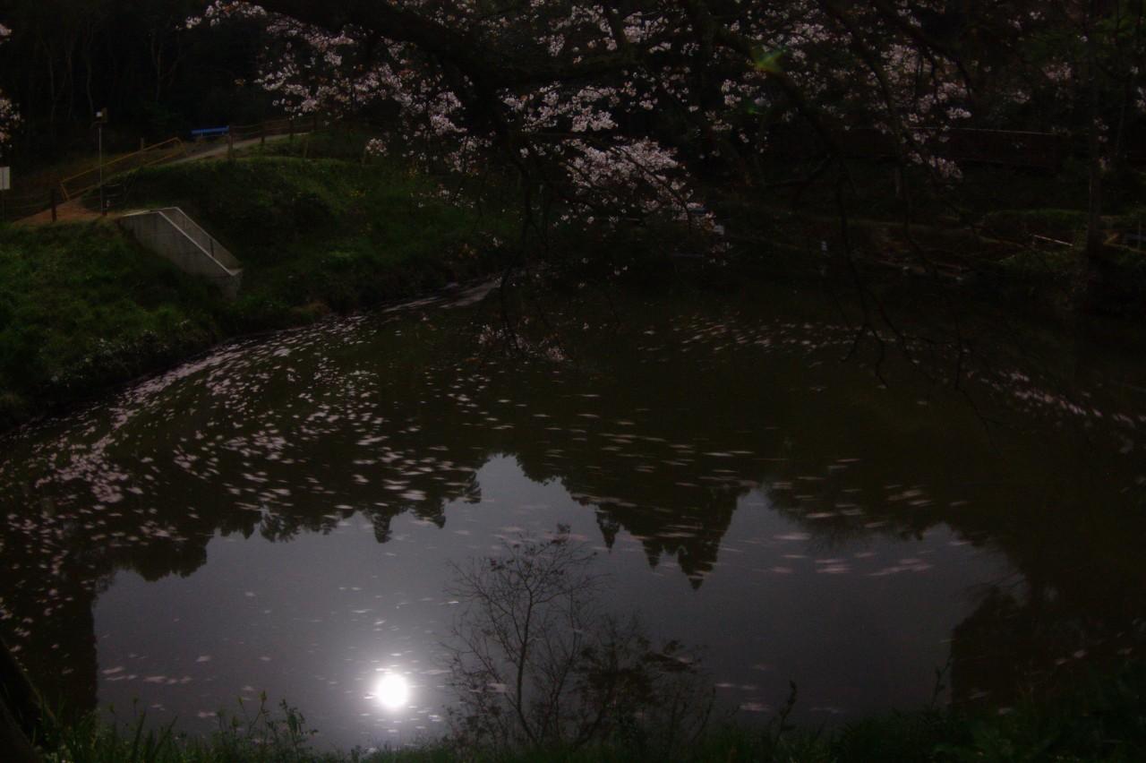 浅いの一本桜花筏t-IMG_0382B.jpg