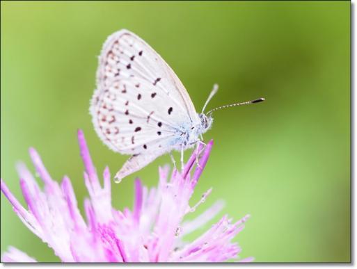 シジミ蝶とアザミ