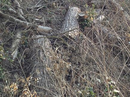4222013坊主山松木伐採S5