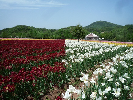 5132011世羅高原農場tulipS1