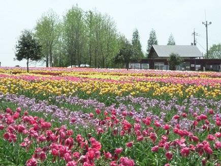 5132011世羅高原農場tulipS2