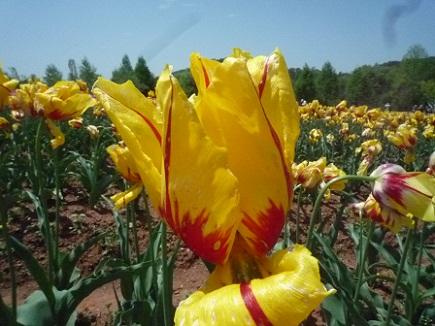 5132011世羅高原農場tulipS4