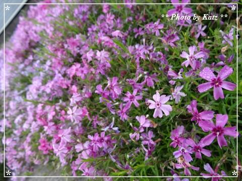 20130616 芝桜
