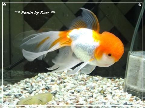 20130703 金魚 (1)