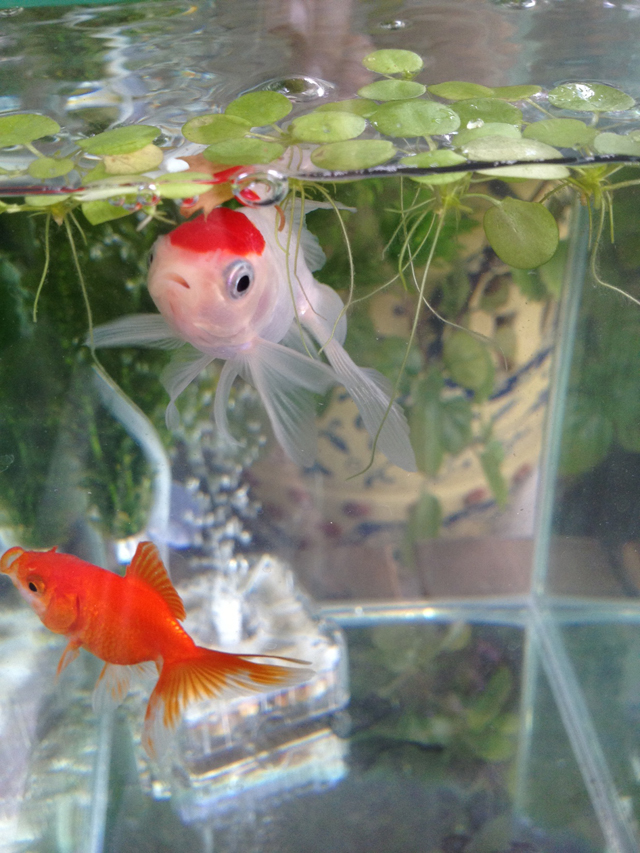 金魚 丹頂 goldfish