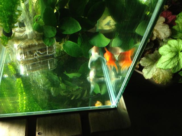 金魚 丹頂 mix金魚 goldfish