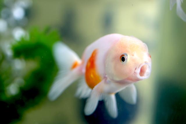 金魚 goldfish 桜錦