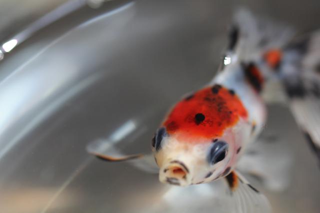 金魚 goldfish キャリコ流金