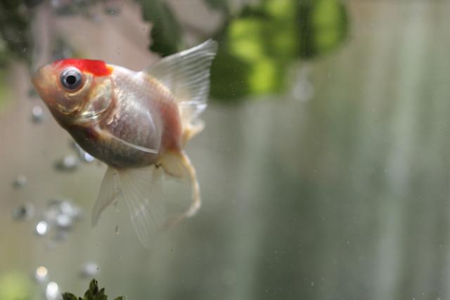 金魚 goldfish 丹頂