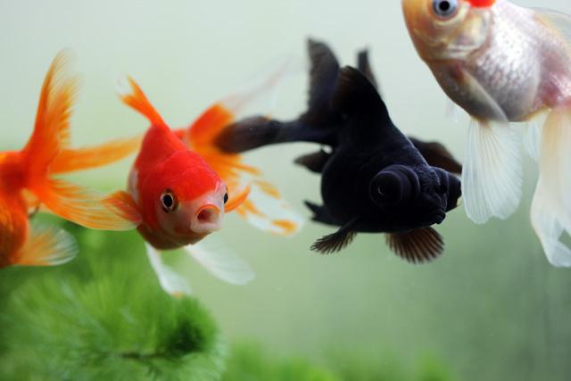 金魚 goldfish 出目金