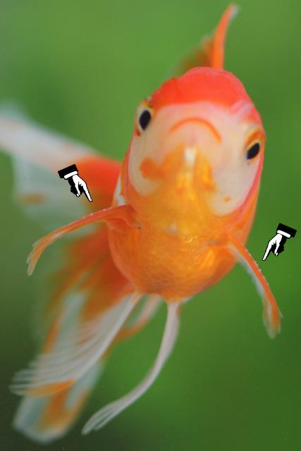 金魚 goldfish 追い星