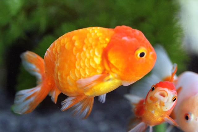 金魚 goldfish 中国産金魚