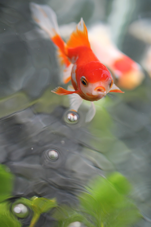 金魚 goldfish 上見