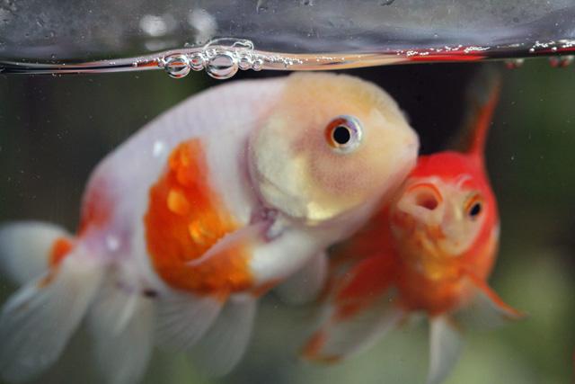 金魚 goldfish らんちゅう