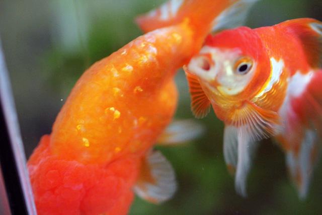 金魚 goldfish 中国産 らんちゅう