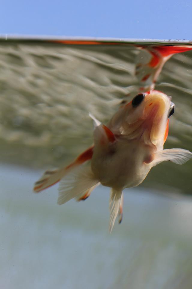 金魚 goldfish