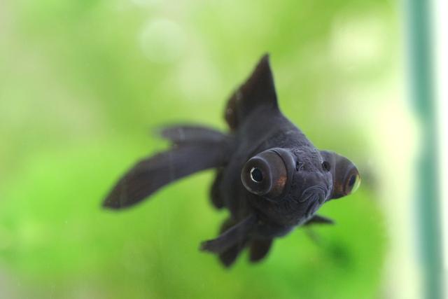金魚 出目金 goldfish