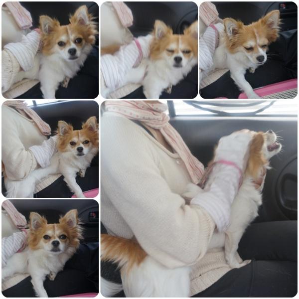 プリンちゃん金太郎ママのお膝で寛いでる