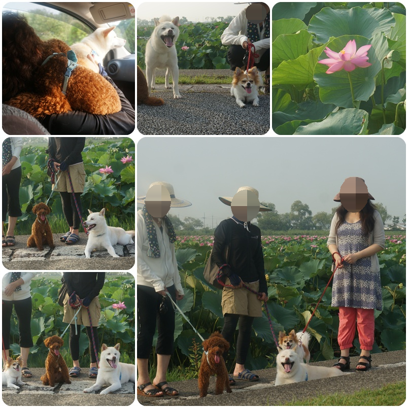 琵琶湖一面ハスの花
