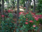 牧野記念庭園の彼岸花
