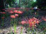 神代植物公園の彼岸花