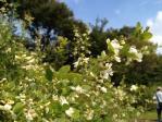 神代植物公園の白萩