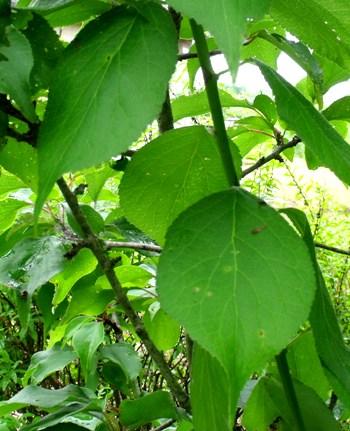 画像ー146 020-2梅の葉