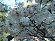 桜20110406 006kai