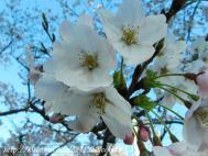桜20110406 003kai