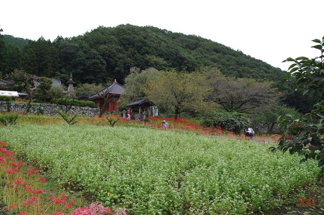 20130923彼岸花_常楽寺鹿沼08