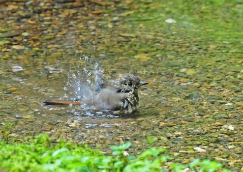 若 水浴び