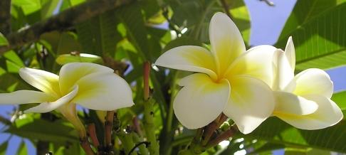 プルメリア花