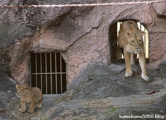 ライオン_721