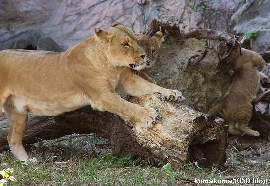 ライオン_726