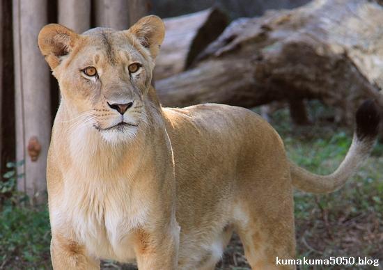 ライオン_756
