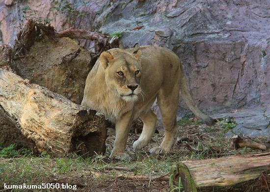 ライオン_772