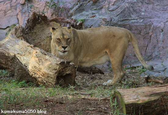 ライオン_771