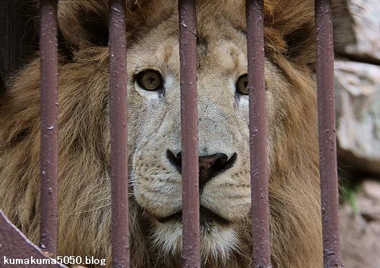 ライオン_786