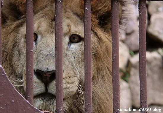 ライオン_785