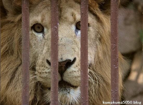 ライオン_783