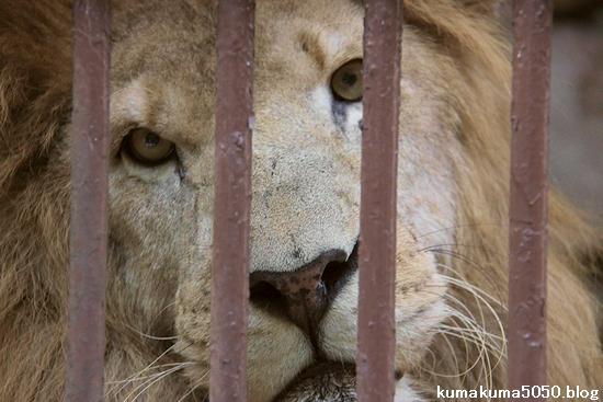 ライオン_782