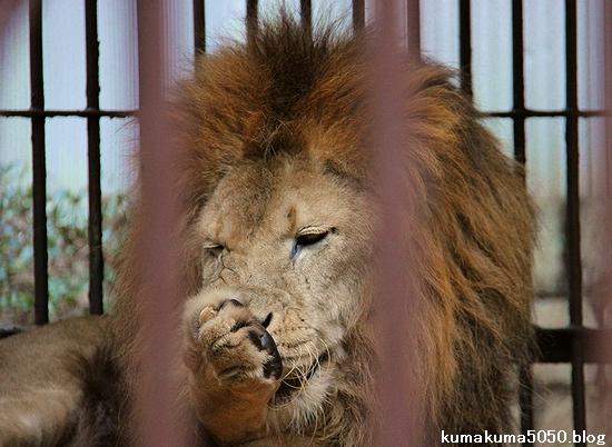 ライオン_789